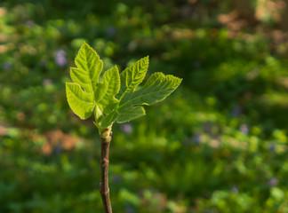 sunlit budding fig leaves