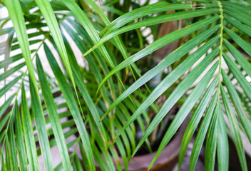 fresh green leaf of coconut texture or background, line pattern, close up
