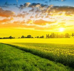 Wall Murals Honey Spring landscape with rapeseed field at sunset.