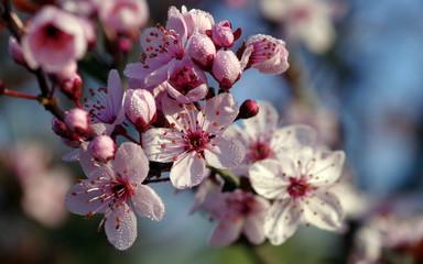 Obraz wiosenne kwiaty drzew owocowych - fototapety do salonu