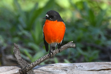 Flame robin, male, looking at viewer