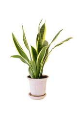 Sansevieria trifasciata, or the Mother-in-Law's Tongue on white