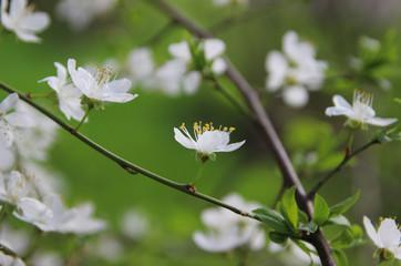 Flowering fruit trees. Spring garden