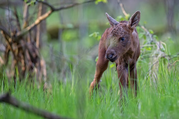 Young moose in the forest