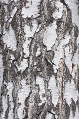 Wall Mural - birch background