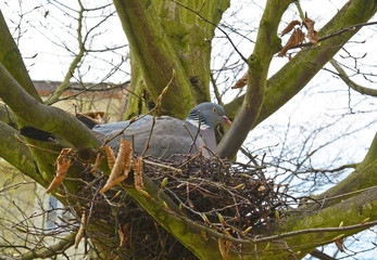 Common wood pigeon in a nest in spring garden