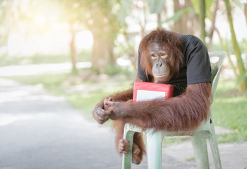 chimpanzee monkey sit on chair with donation boxes