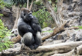 Spain - Canary - Tenerife - Western lowland gorilla (lat. Gorilla gorilla gorilla) sits in dreaminess on a branch in Loro parque aviary with blurred background