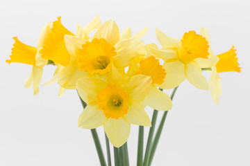 Beautiful spring yellow flowers daffodils on a white background
