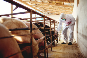Pig vet checking pigs for diseases. Veterinarian at pig farm.