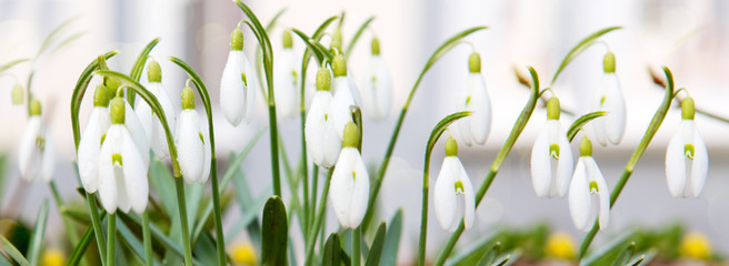 Beautiful snowdrop flowers in nature.
