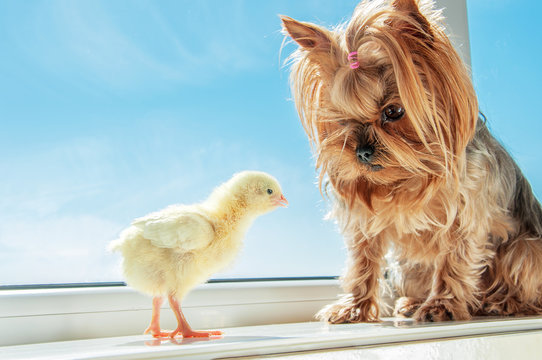 Yorkshire terrier with yellow chick