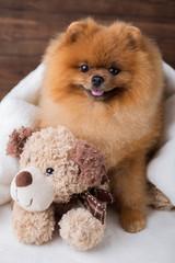 Cute pomeranian dog. Best friends