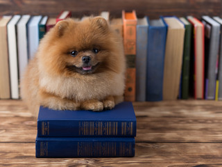 Clever pomeranian dog with a book. A dog sheltered in a blanket with a book. Serious dog. Dog in a library