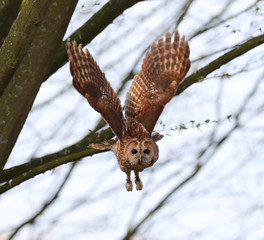 Close up of a Tawny Owl in flight in woodland