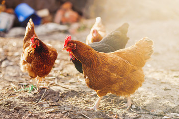 Free range chicken on a traditional organic poultry farm.