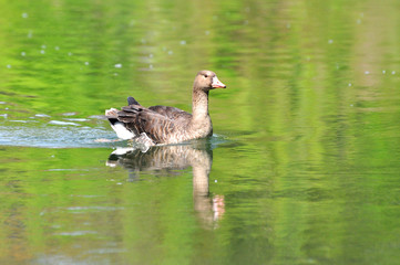 Greylag goose (anser anser) in water. Domestic goose, Anser anser domesticus, swimming in river