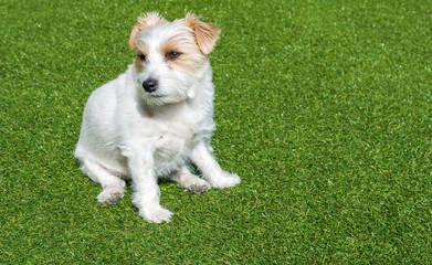 Hund sitzt im Gras - Jack Russell