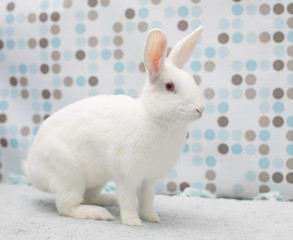 Cute little white baby bunny at home in a fluffy rug