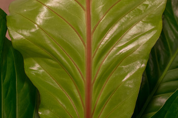 Green leaf, red stalk