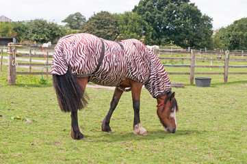 Horse wearing a zebra print fly rug to help protect against the insect invasion that comes with the warmer weather