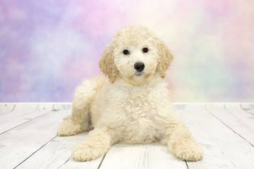 Golden doodle with colorful springtime background