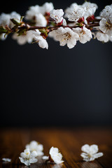 Branch of blooming spring apricots