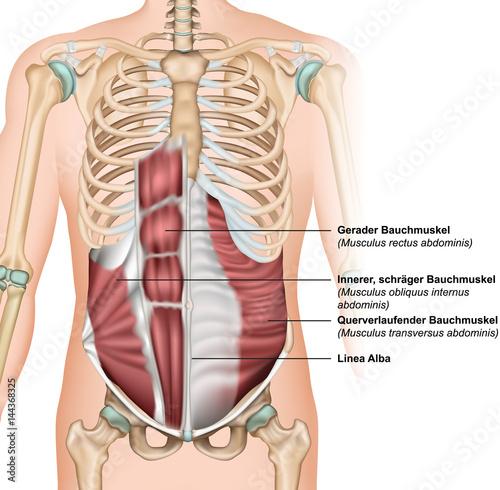 Musculus obliquus externus abdominis vector illustration\