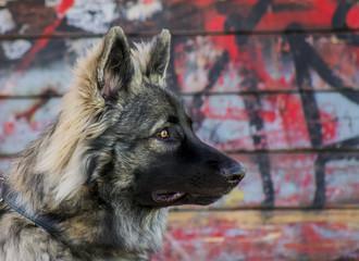 Wall Murals Dog oud duitse herders hond