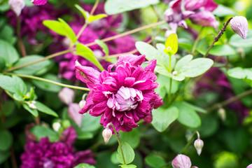 Clematis-flowers for landscape design