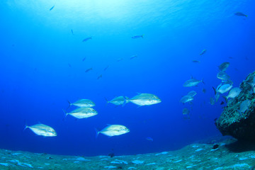 School of Trevally fish (Jackfish)