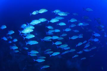 School of Trevally fish (Jackfish)