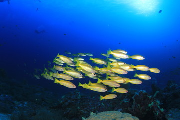 School of Snapper fish in ocean