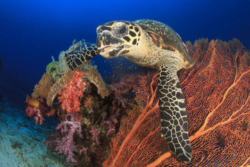 Hawksbill Sea Turtle eating coral on underwater reef