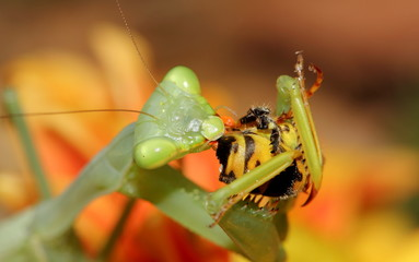 Close up of Praying Mantis eating Wasp