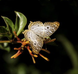 White peacock butterfly with open wings on reddish-orange fire bush flower and green leaves against a black and green background.
