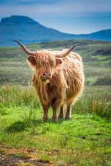 Fototapete - Furry highland cow in Scotland in UK