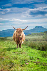 Fototapete - Furry highland cow in Isle of Skye in Scotland