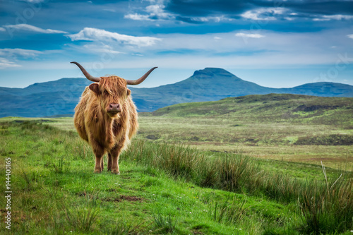 Wall mural Grazing highland cow in Isle of Skye in Scotland