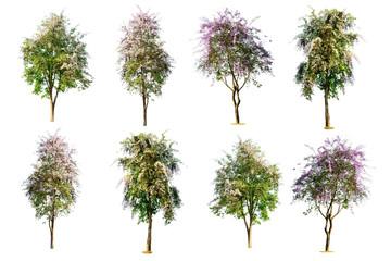 set of tree ( Lagerstroemia speciosa ) isolated on white background