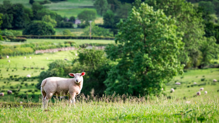 Fond de hotte en verre imprimé Sheep Small sheep on the top of green hill, England