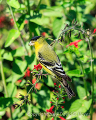 Lesser Goldfinch standing on a desert plant,eating, in Phoenix, Arizona.