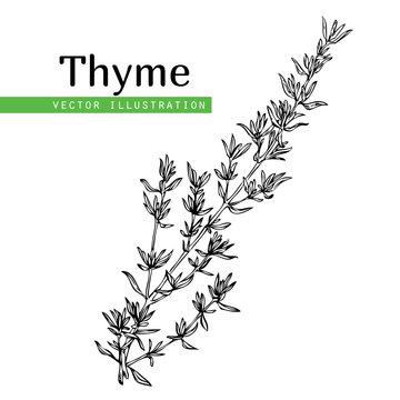 thyme plant on white