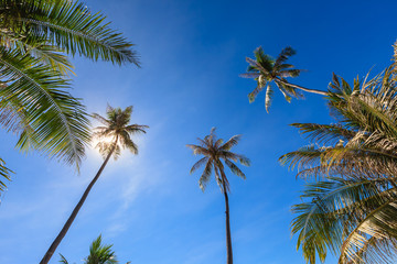 Group of very tall coconut tree grow to the clear blue sky with sunlight shine through.