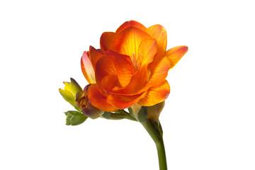 Freesia photos royalty free images graphics vectors videos orange freesia flower isolated on white background mightylinksfo