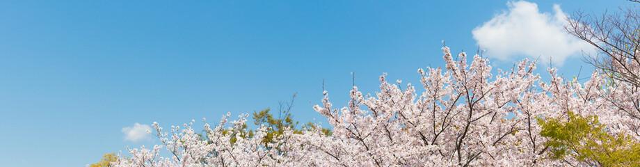 桜の花,春イメージ