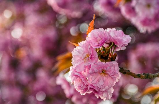 Sakura flower blossom in garden at springtime