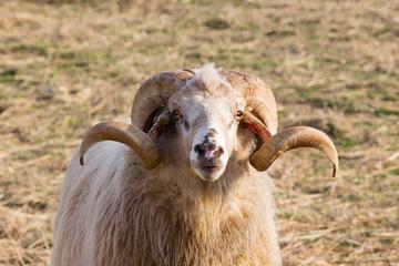 Aries - Ram - Male long-tailed sheep - Animal Portrait