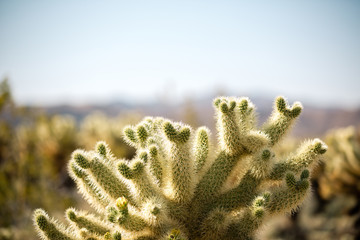 Cholla cactus in Joshua Tree national park on a clear day. Cholla cactus in California - Joshua tree adventures.