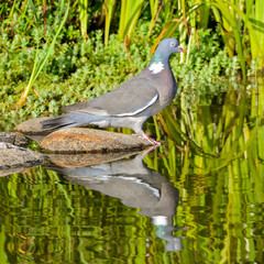 Wood pigeon, turtledove drinking, reflection on the water